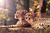pic of cheetah  - Cheetahs in nature - JPG
