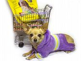 image of bag-of-dog-food  - female chihuahua resting after a long day of shopping - JPG