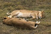 foto of lioness  - lionesses resting lying opposite each other on the grass - JPG