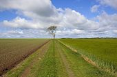 picture of track field  - a lone ash tree with rural track pea field and barley field under a blue cloudy sky on the yorkshire wolds england in springtime - JPG