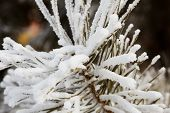 picture of pine-needle  - Close up white snow on the pine needles - JPG