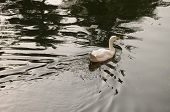 pic of webbed feet white  - A white duck swimming in calm serene water. ** Note: Soft Focus at 100%, best at smaller sizes - JPG
