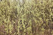 picture of willow  - Blooming willow branches under spring sun light - JPG