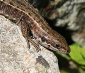 foto of lizard skin  - Common viviparous lizard basking on warm stone close - JPG