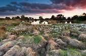 stock photo of swamps  - sunset over wild swamp with cottongrass North Brabant Netherlands - JPG