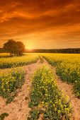 picture of rape  - Yellow rape field at the sunset - JPG