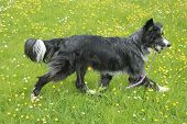 stock photo of border collie  - Blue merle border collie happily trotting along in a field - JPG