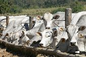 picture of oxen  - cows and ox feeding in a farm - JPG