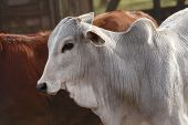 image of zebu  - cows at a cattle farm or ranch in brazil - JPG