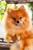 image of pomeranian  - cute pomeranian dog portrait at home puppy. ** Note: Soft Focus at 100%, best at smaller sizes - JPG