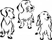 pic of dachshund  - german dachshund  - JPG