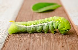 picture of cocoon tree  - Green Caterpillar on wooden background  - JPG