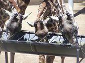 Three Giraffes In A Row