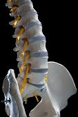 foto of coccyx pain  - learning model of the human spinal columns - JPG