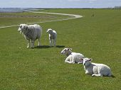 Sheep And Lambs On A Dyke On The Island Of Sylt