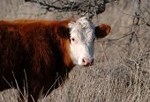White Faced Hereford Cow