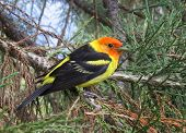 Western Tanager Backyard Bird Closeup