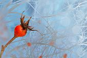Bush Of A Dogrose In A Winter Snowy Frosty Fairy Forest On A Cold Day. Bright Red Briar Berries Agai poster