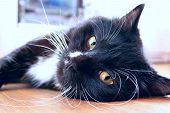 Black Cat Lying On Floor. Feline Muzzle. Lazy Cat Close Up Laying On Floor. Domestic Animal poster