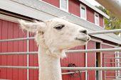 Side Profile Of Llama