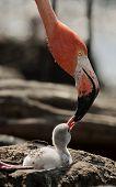 Baby Bird Of The Caribbean Flamingo.