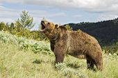 image of grizzly bears  - Grizzly bear showing aggression by snarling - JPG