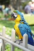 picture of king parrot  - Red and Blue Parrot Ruffling its Feathers - JPG