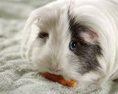 Animal Pet Guinea Pig poster