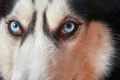 Muzzle Blue-eyed Siberian Husky Close-up. Husky Dog Looks At Camera. Serious Predator Look, Harsh Ki poster