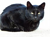 A Black Cat. The Domestic Cat Is A Small, Typically Furry, Carnivorous Mammal. They Are Often Called poster