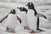 Three penguins are standing on the snow-covered surface. Antarctic mountain crest. Wild animals were poster