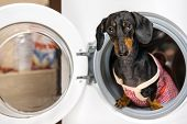 Adorable Dog Breed Of Dachshund, Black And Tan, Looking From Washing Machine.  Laundry And Dry Clean poster