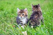 Two  Little Furry Kitten Playing In Spring Meadow. Kitten On Green Grass, Healthy Lifestyle. poster