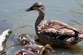 Mutter Ente und Küken