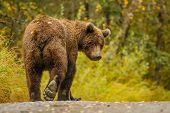 Huge Alaskan Bear Leavaing And Giving Bye-bye, Close Encounter With Bbrown Bear, Very Close Meeting  poster
