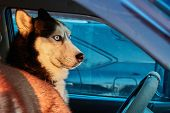 Dog Looks Out Car. Siberian Husky Sits In Car And Looks. Bright Sunset Light Sun. Concept Traveling  poster