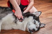 Concept Molting Pet. Grooming Undercoat Dog. Owner Combs Wool From Siberian Husky. Cute Husky Dog Li poster