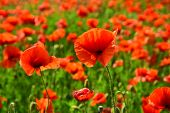 Remembrance Day, Anzac Day, Serenity. Remebrance Day, Memorial Day, Narcotics poster
