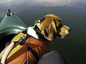 Beagle Dog In Canoe