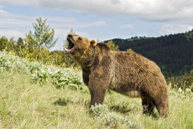 stock photo of grizzly bear  - Grizzly bear showing aggression by snarling - JPG
