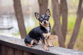 Pet Dog Chihuahua Walks On The Street. Chihuahua Dog For A Walk. Chihuahua Black, Brown And White. C poster