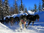 stock photo of sled dog  - Dogs running the 2012 Iditarod Trail Sled Dog Race - JPG