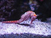 Pink Zebra-snout Or Barbours Seahorse (hippocampus Barbouri) With Pink Coral In Aquarium poster