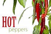 Red hot chili peppers en blanco (con texto extraíble fácil)