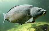 stock photo of musky  - Underwater Photo Big Carp  - JPG