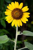 Sunflower Weed Vertical, Stand Alone