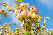 Abundant Crop Of Apples. Apple Tree Branch With Apples On Blue Sky. Apples Grow In Sunlight On Tree. poster