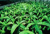 stock photo of nepenthes  - small tropical pitcher plant seedlings  - JPG