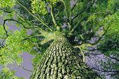 image of camphor  - powerful giant camphor tree grow up to the sky by night - JPG