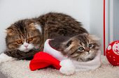 Portrait Of A Little Kitten At Christmas, Christmas Card With Kittens poster